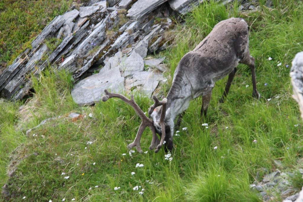 Rentiere in ihrer natürlichen Umgebung erleben